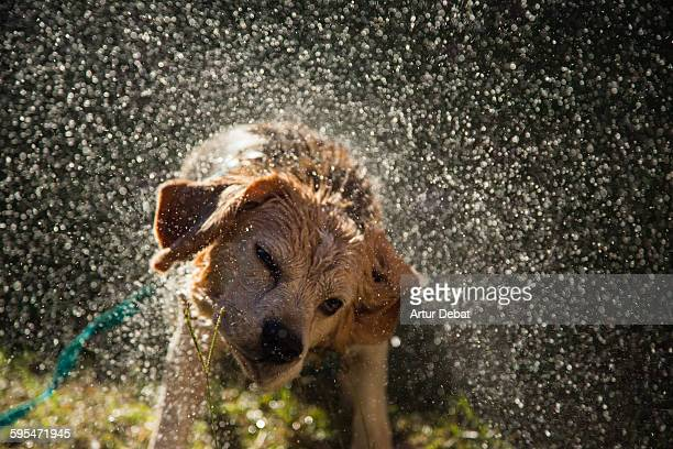 Beagle dog shaking after bath water at home patio.