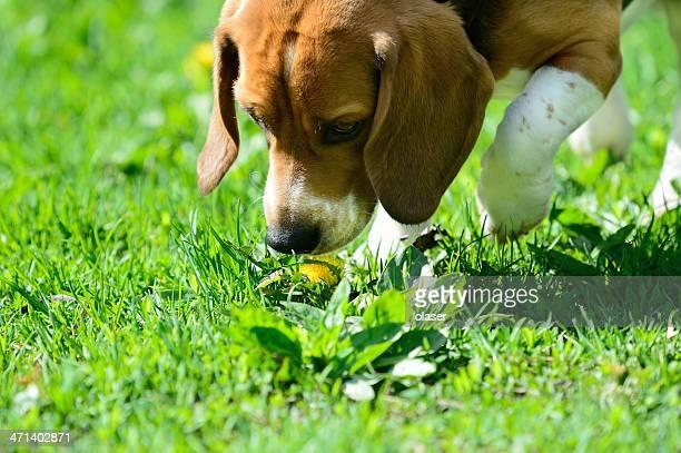 Beagle Hund riechen Blumen
