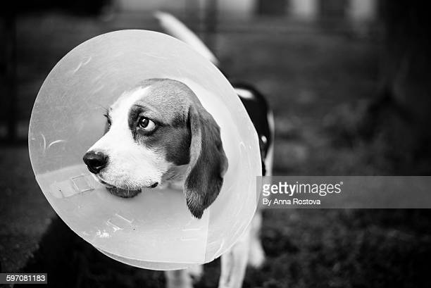 Beagle dog wearing cone of shame
