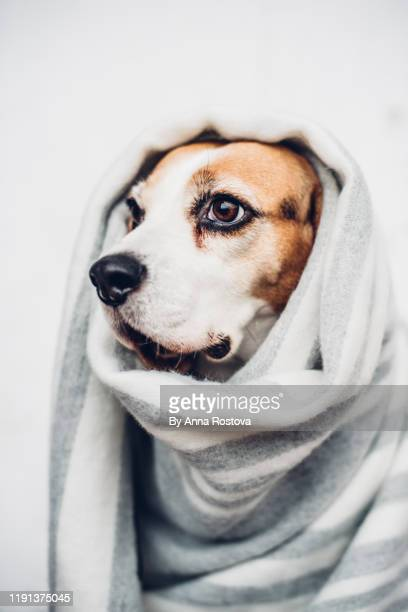 beagle dog with warm scarf wrapped around her head - scarf stock pictures, royalty-free photos & images