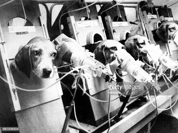 Beagle dogs used for smoking tests at Dog Toxicity Unit Alderley Park Cheshire 1975 The dogs are forced to smoke up to 30 cigarettes a day to help in...