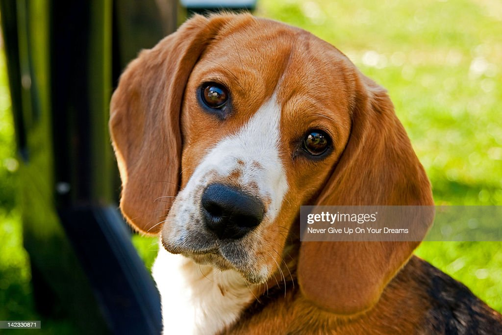 Beagle Eyes : Stock Photo