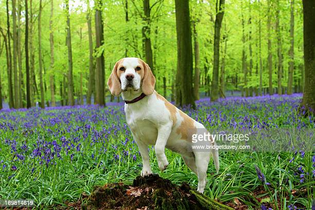 Beagle in Bluebell Woods, Hertfordshire