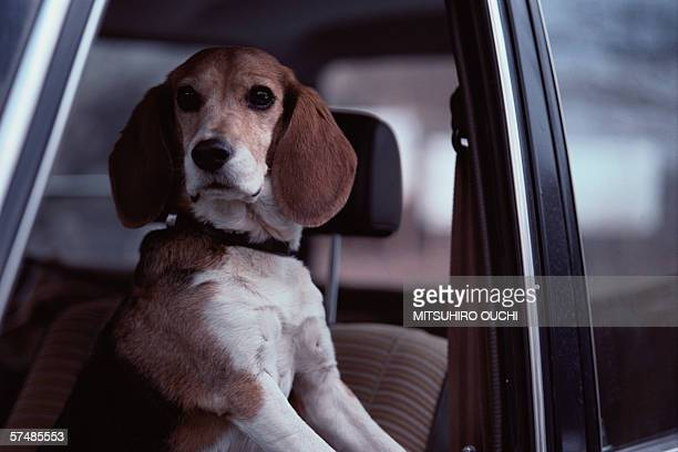 beagle in car, close-up - hound stock pictures, royalty-free photos & images
