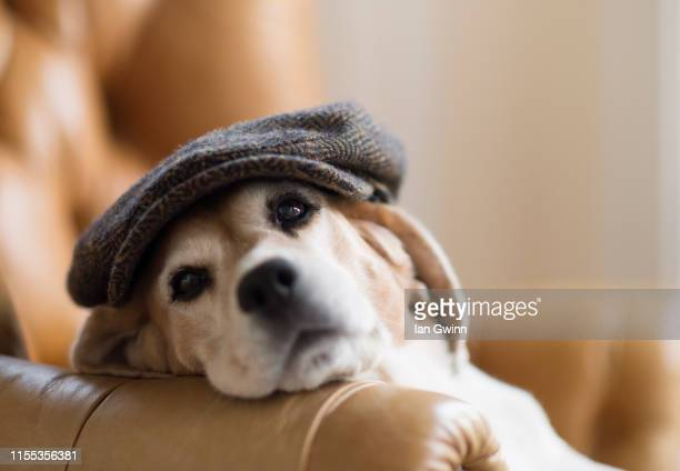 beagle in chair - ian gwinn stock pictures, royalty-free photos & images