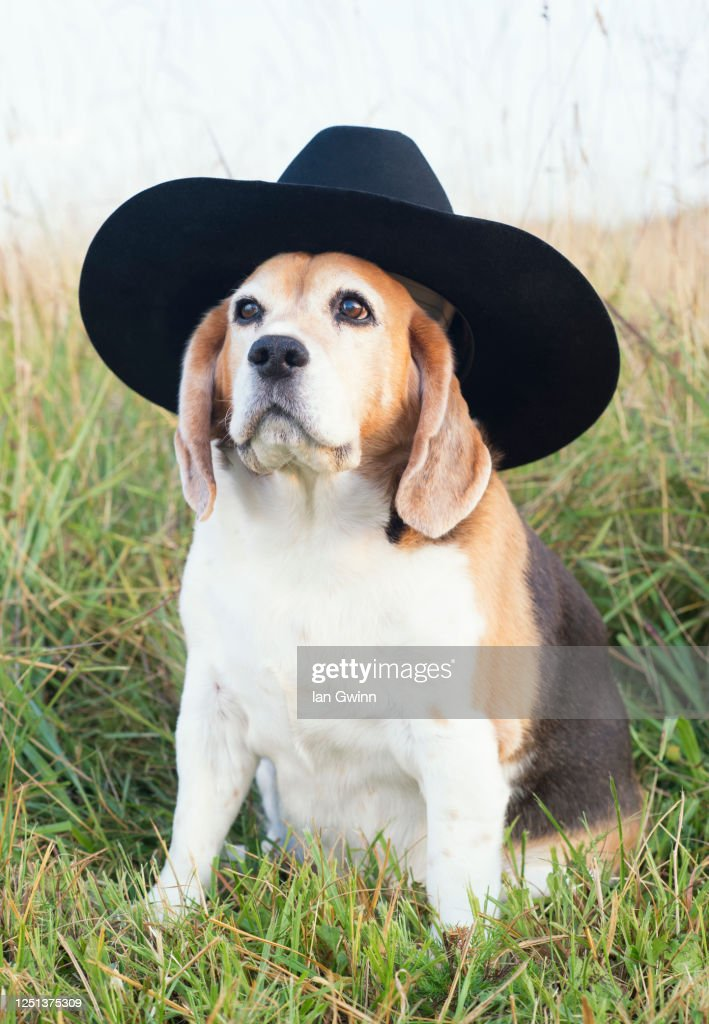 Beagle in Cowboy's Hat : Stock Photo