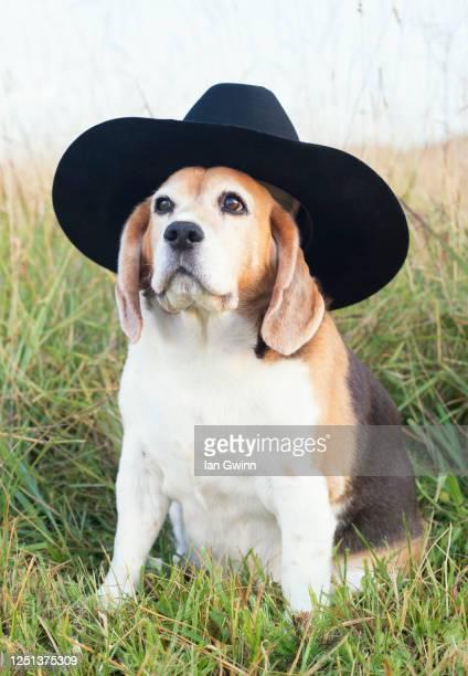 beagle in cowboy's hat - ian gwinn stockfoto's en -beelden