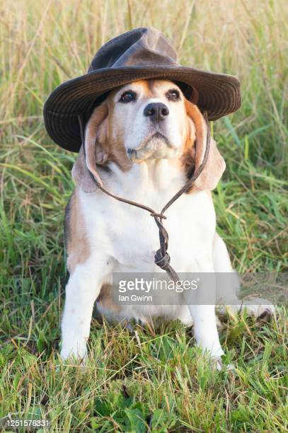 beagle in croc hunter's hat - ian gwinn - fotografias e filmes do acervo
