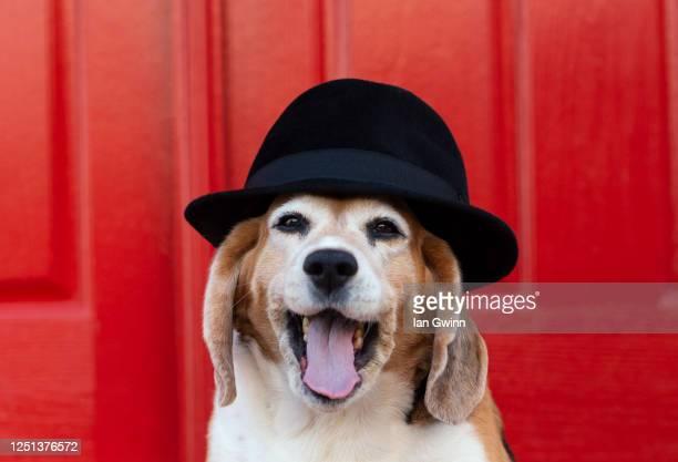 beagle in fadora_2 - ian gwinn fotografías e imágenes de stock