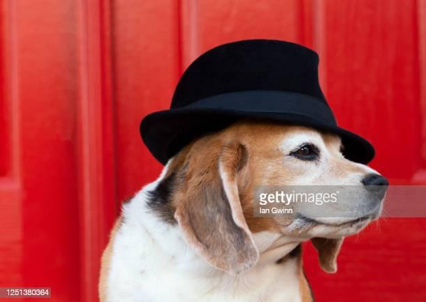 beagle in fadora_3 - ian gwinn fotografías e imágenes de stock
