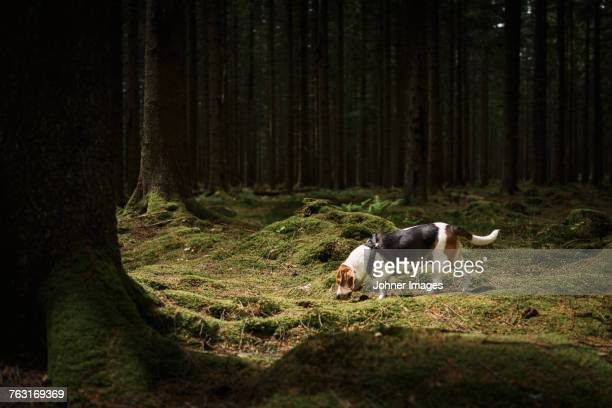 beagle in forest - animal nose stock pictures, royalty-free photos & images