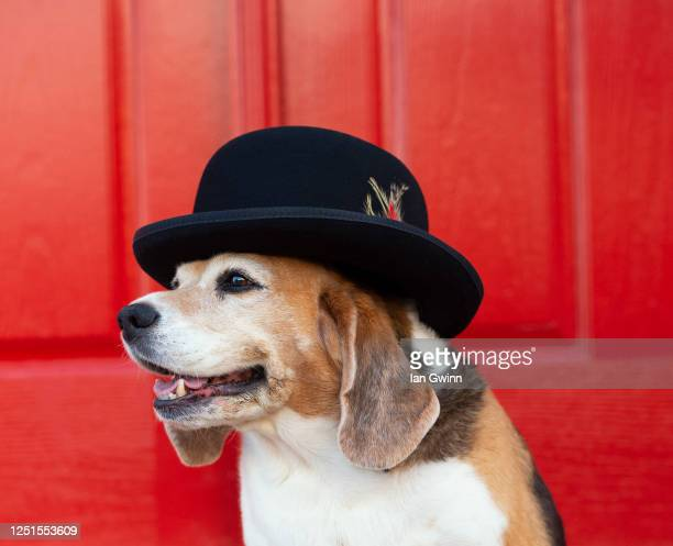 beagle in gentleman's hat_1 - ian gwinn stock pictures, royalty-free photos & images