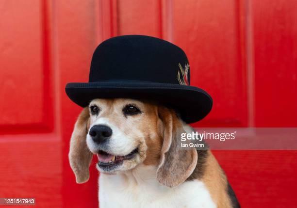 beagle in gentleman's_2 - ian gwinn photos et images de collection