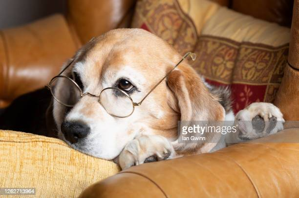 beagle in glasses - ian gwinn - fotografias e filmes do acervo