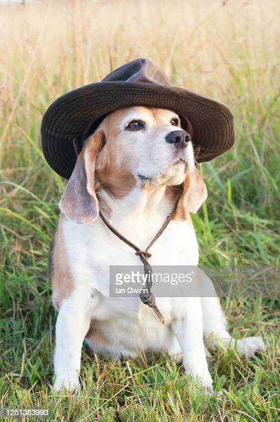 beagle in indiana jones hat - ian gwinn - fotografias e filmes do acervo