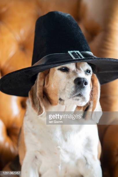 beagle in pilgrim's hat - ian gwinn stock pictures, royalty-free photos & images
