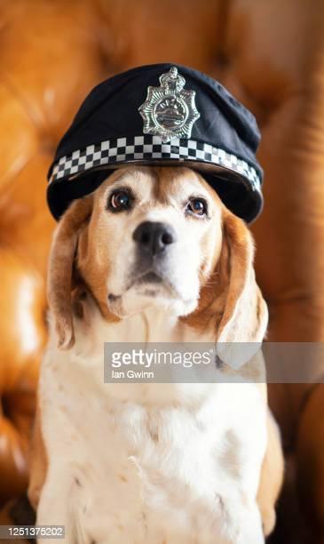 beagle in police officer's hat - ian gwinn fotografías e imágenes de stock