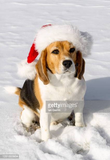 beagle in santa claus' hat - ian gwinn stock pictures, royalty-free photos & images