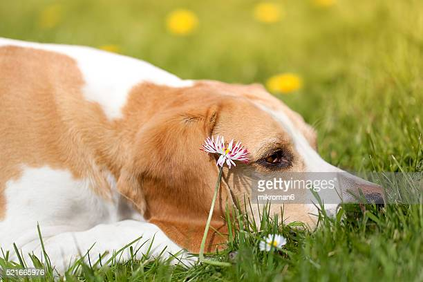 Beagle in spring meadow