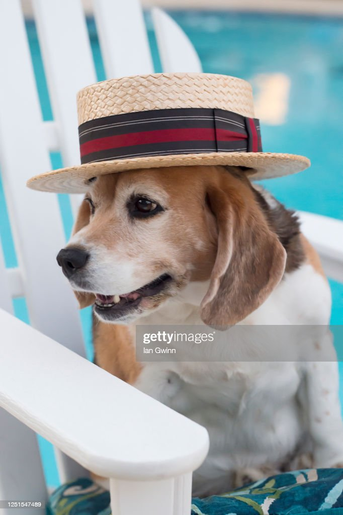 Beagle in Straw Hat : Stock Photo