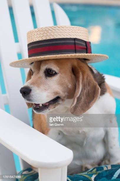 beagle in straw hat - ian gwinn stock pictures, royalty-free photos & images