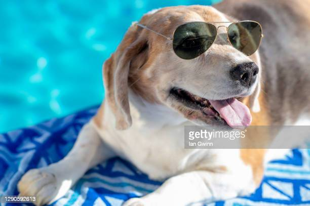 beagle in sunglasses - ian gwinn stock pictures, royalty-free photos & images