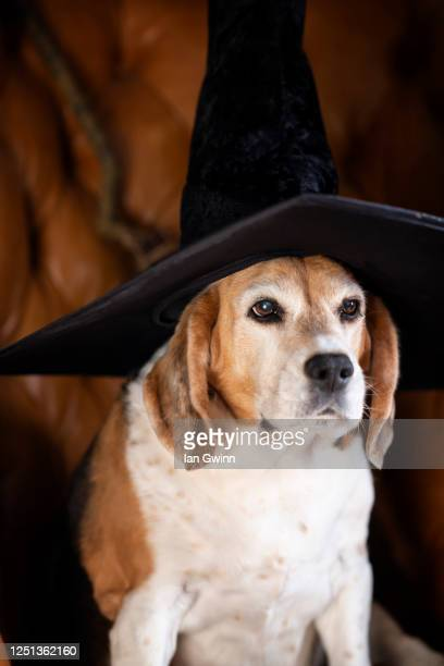 beagle in witch's hat - ian gwinn - fotografias e filmes do acervo