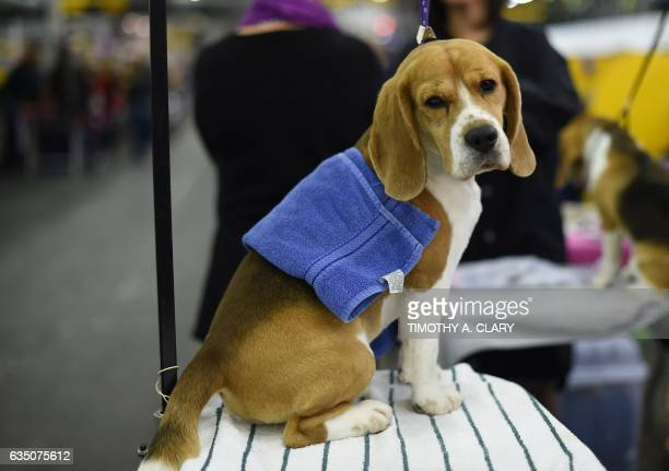 A Beagle is seen in the benching area during Day One of competition at the Westminster Kennel Club 141st Annual Dog Show in New York on February 13...