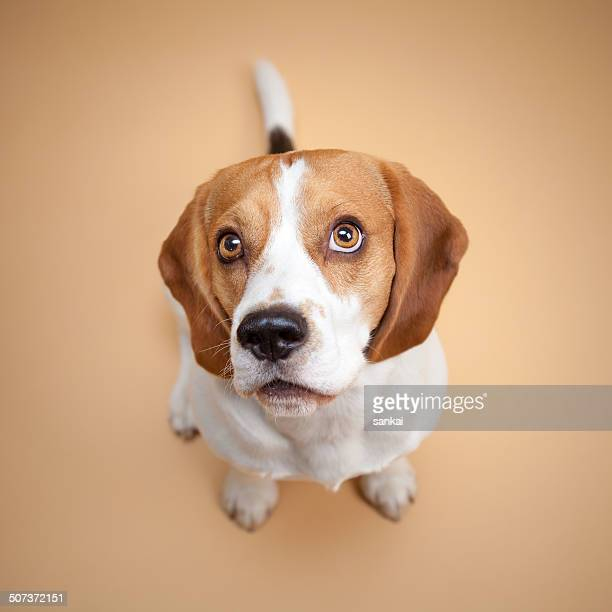 beagle isolated on beige background - seeing eye dog stock photos and pictures