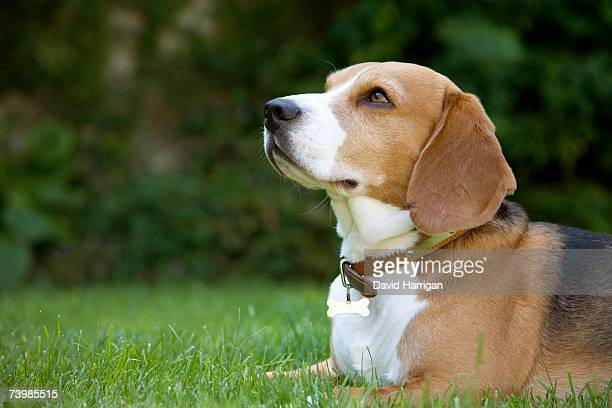 A beagle lying on grass