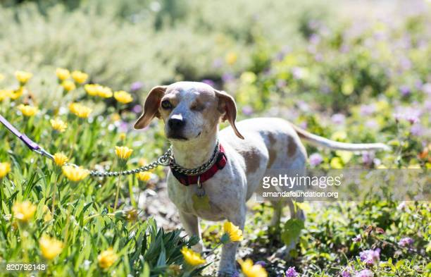 Beagle Mix in a Garden - The Amanda Collection