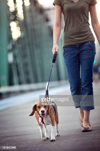 ビーグル犬の散歩