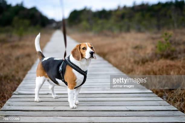 Beagle on boardwalk