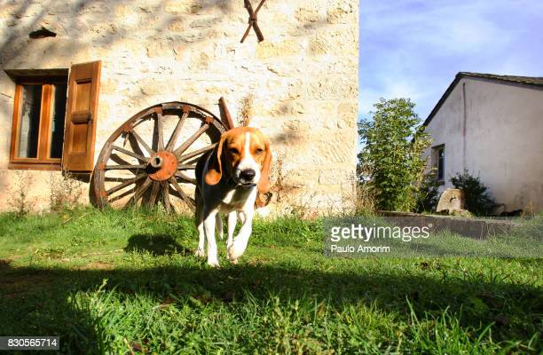 beagle on the rural street in france - hound stock pictures, royalty-free photos & images