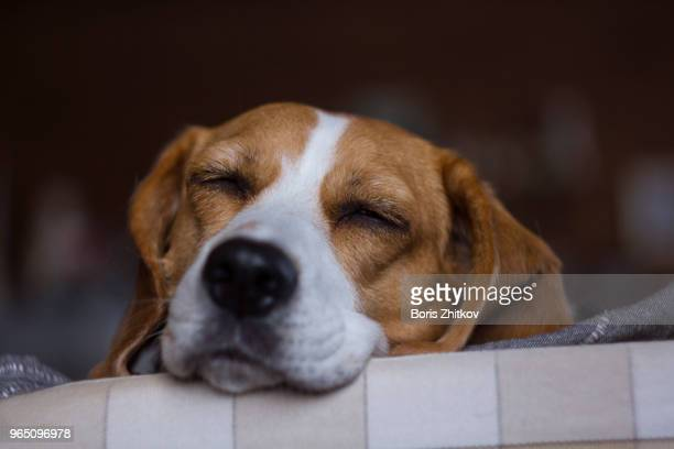 beagle. - beagle stock pictures, royalty-free photos & images