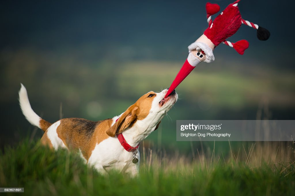 A Beagle plays with a Santa toy : Stock Photo