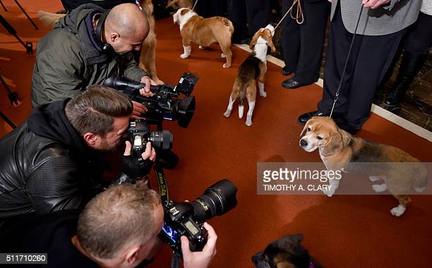 A Beagle poses for photographers during a news conference February 22 2016 in New York at the American Kennel Club who revealed its much anticipated...