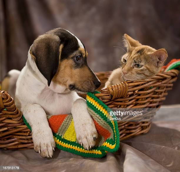 Beagle Puppy and Kitten