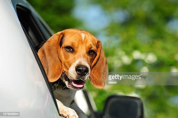 Beagle puppy in car window