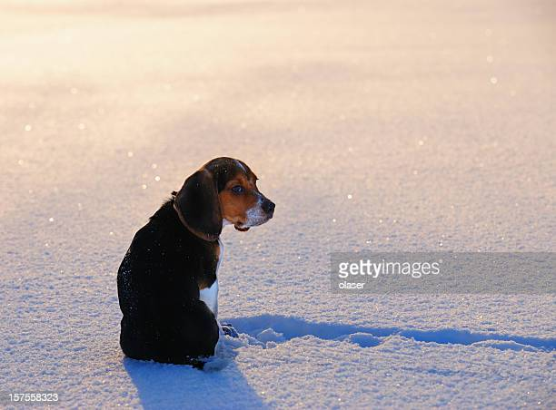 Beagle puppy in winter sunset on snow