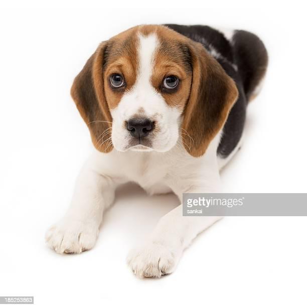 Cucciolo di Beagle isolato su sfondo bianco