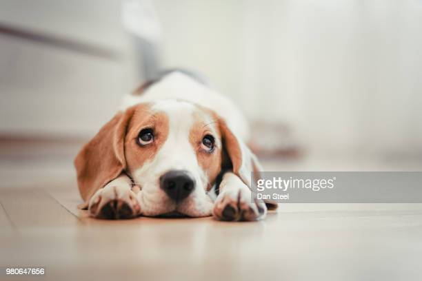 beagle puppy lying down - hund stock-fotos und bilder