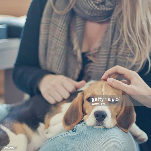 beagle puppy lying on lap - beagle stock pictures, royalty-free photos & images