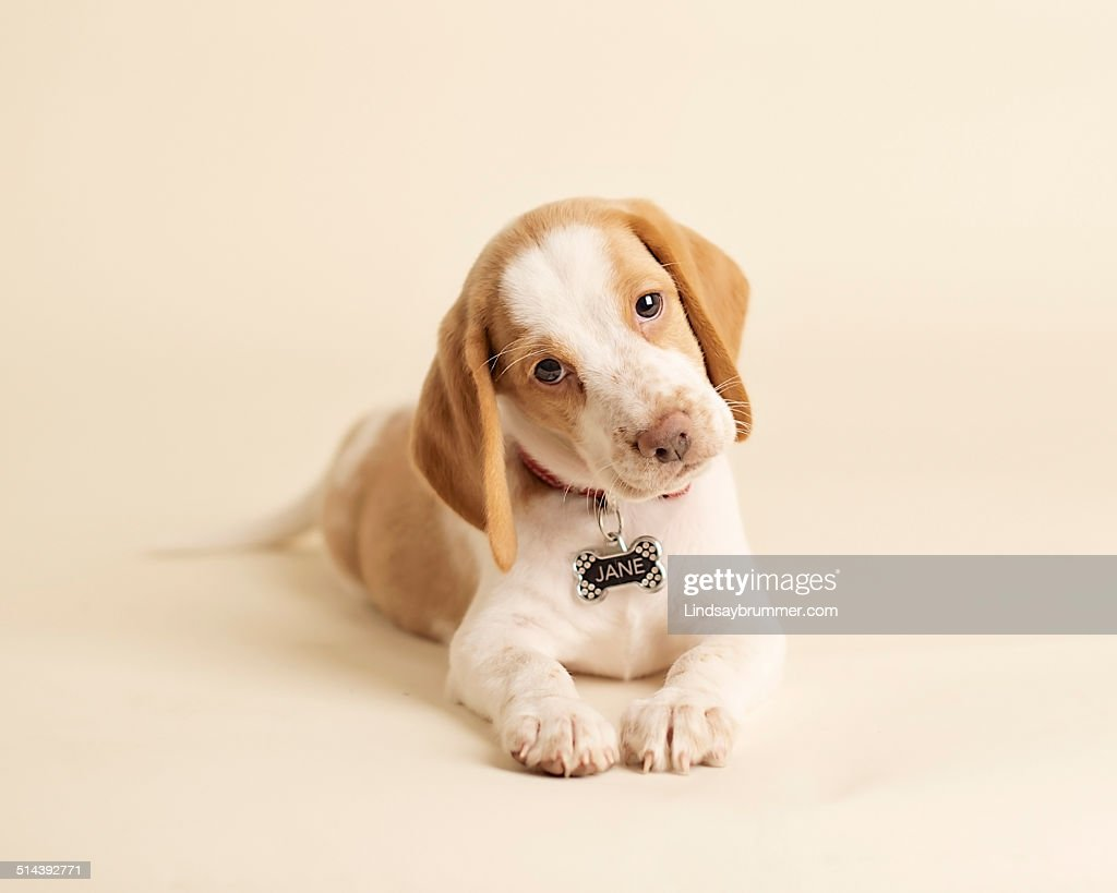 Beagle puppy : Stock Photo