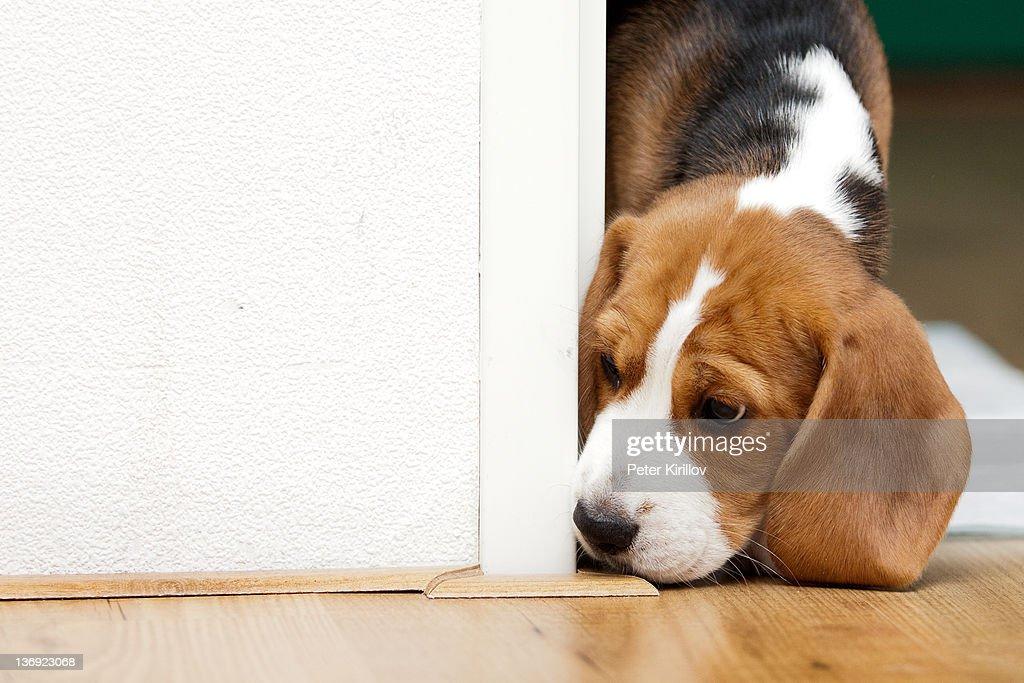 Beagle puppy seeking : Stock Photo