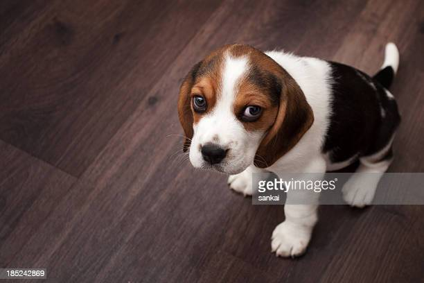 Beagle puppy sitting on a dark wooden floor