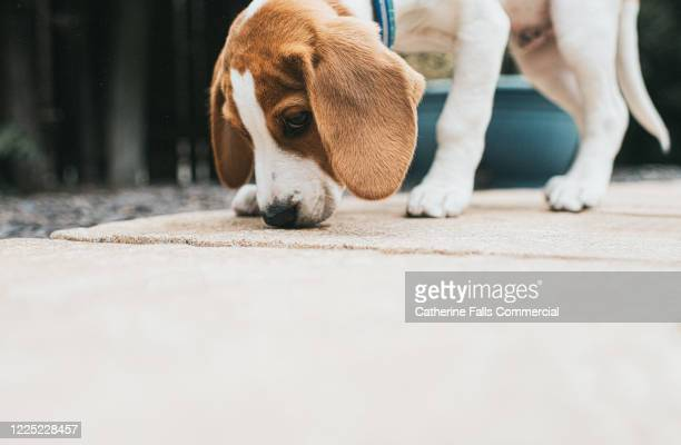 beagle puppy sniffing - collar stock pictures, royalty-free photos & images