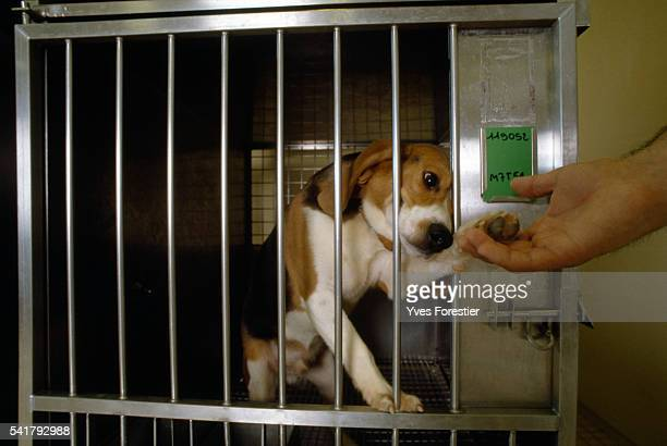 A beagle reaches out to a hand from his cage at a toxicology lab of pharmaceutical company RhonePoulenc Rorer Inc in Vitry France | Location Vitry...
