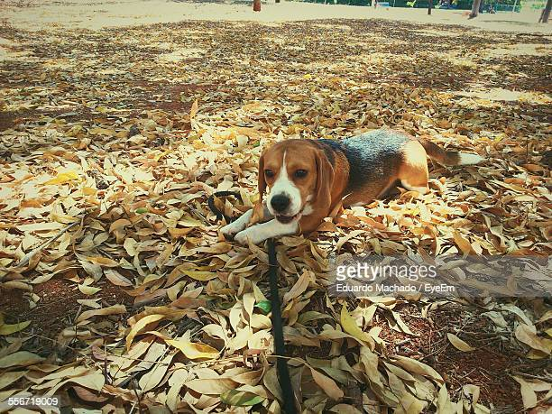 Beagle Resting On Dry Leaves In Park