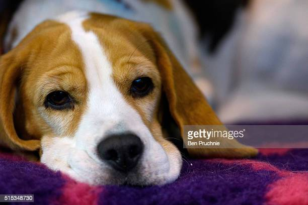 Beagle rests on a bench on the final day of Crufts 2016 on March 13 2016 in Birmingham England First held in 1891 Crufts is said to be the largest...